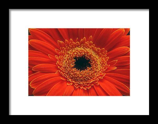 Orange Flower Still Life Flora Framed Print featuring the photograph Big Orange Daisey by Jon Daly