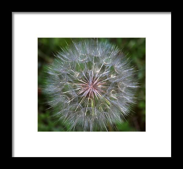 Dandelion Framed Print featuring the photograph Big Wish by Linda Sannuti