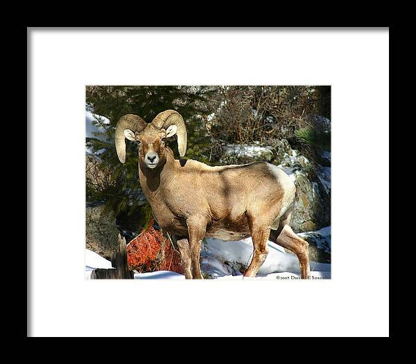 Wildlife Framed Print featuring the photograph Bighorn Ram by Perspective Imagery