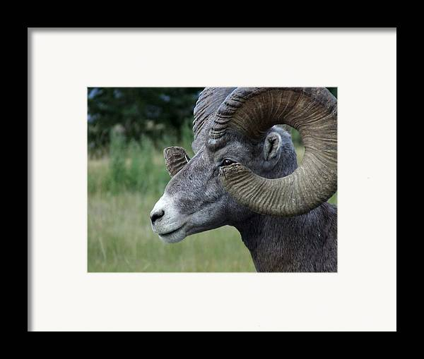 Big Horned Ram Framed Print featuring the photograph Bighorned Ram by Tiffany Vest