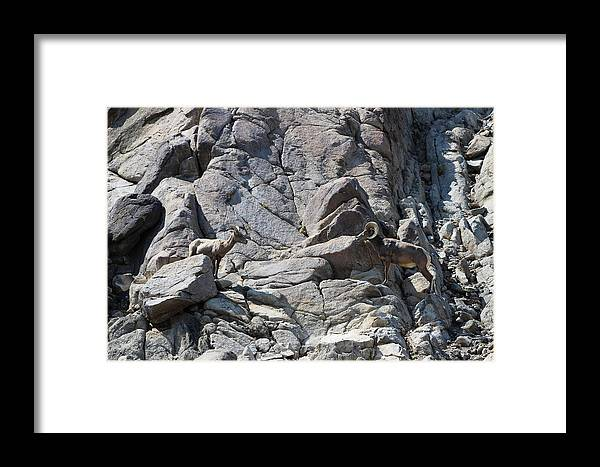 Bighorn Sheep Ram Framed Print featuring the photograph Bighorns Romantic Stare by Colleen Cornelius