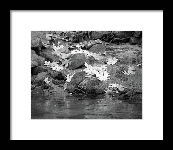 4 Corners Photo Framed Print featuring the photograph Bigleaf Maple Leaves, Mariposa County, Ca by Troy Montemayor