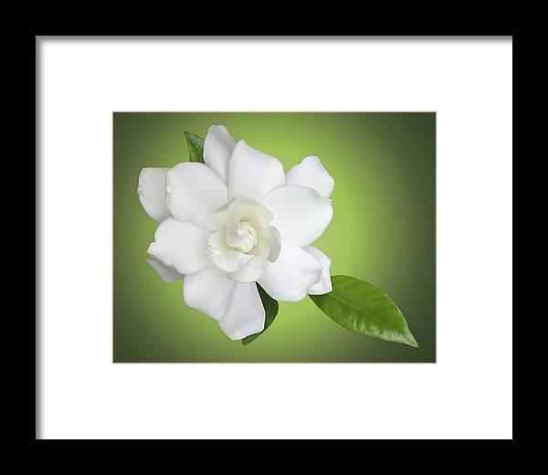 Gardenia Framed Print featuring the photograph Billie's Flower by Kristin Elmquist