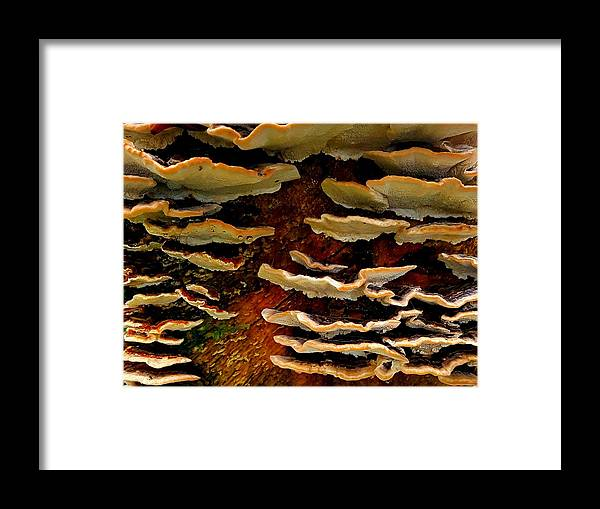 Fungus Framed Print featuring the photograph Birch Bracket Fungus by Colin Drysdale