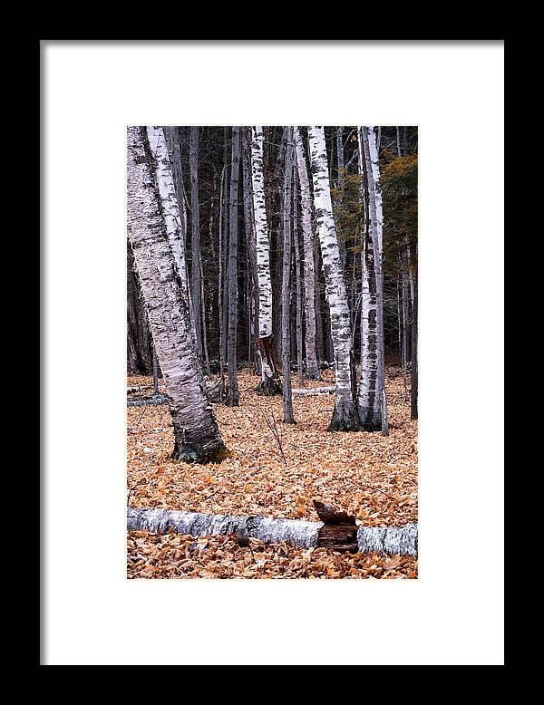 Sunset Lake Road West Brattleboro Vermont Framed Print featuring the photograph Birch Trees by Tom Singleton