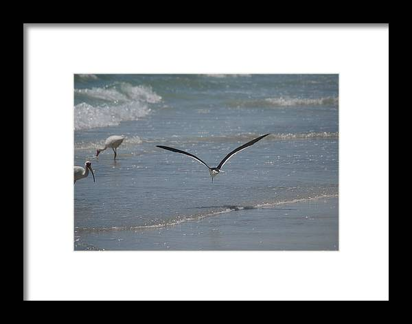 Bird Framed Print featuring the photograph Bird Flying In The Surf 2 by Lisa Gabrius