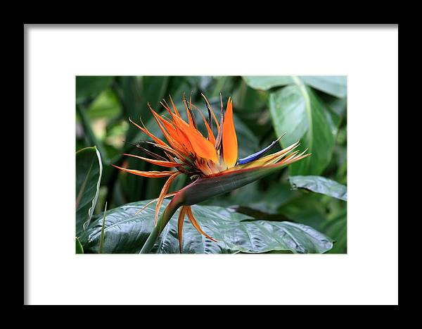 Fower Framed Print featuring the photograph Bird Of Paradise 1 by David Dunham