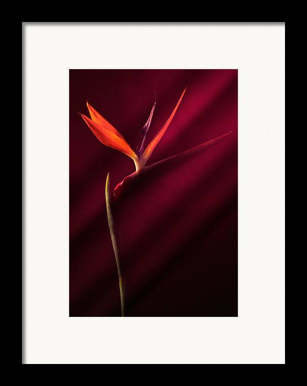 Bird Of Paradise Framed Print featuring the photograph Bird Of Paradise 1 by Joseph Gerges