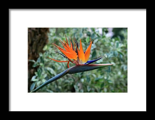 Flower Framed Print featuring the photograph Bird Of Paradise 2 by David Dunham