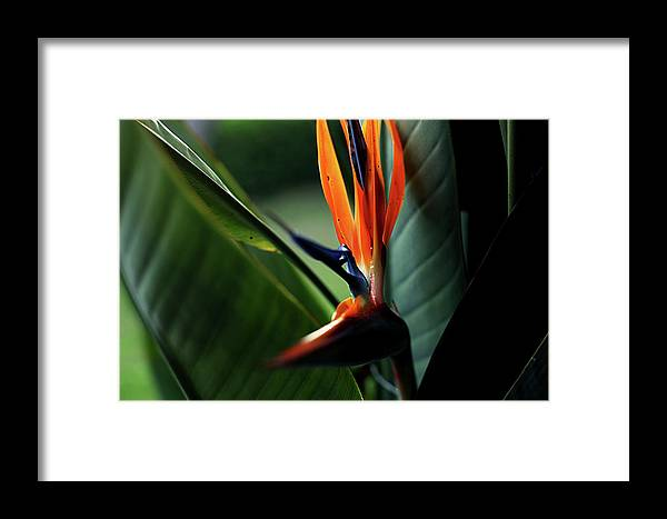 Bird Of Paradise Framed Print featuring the photograph Bird Of Paradise by Heather Strong