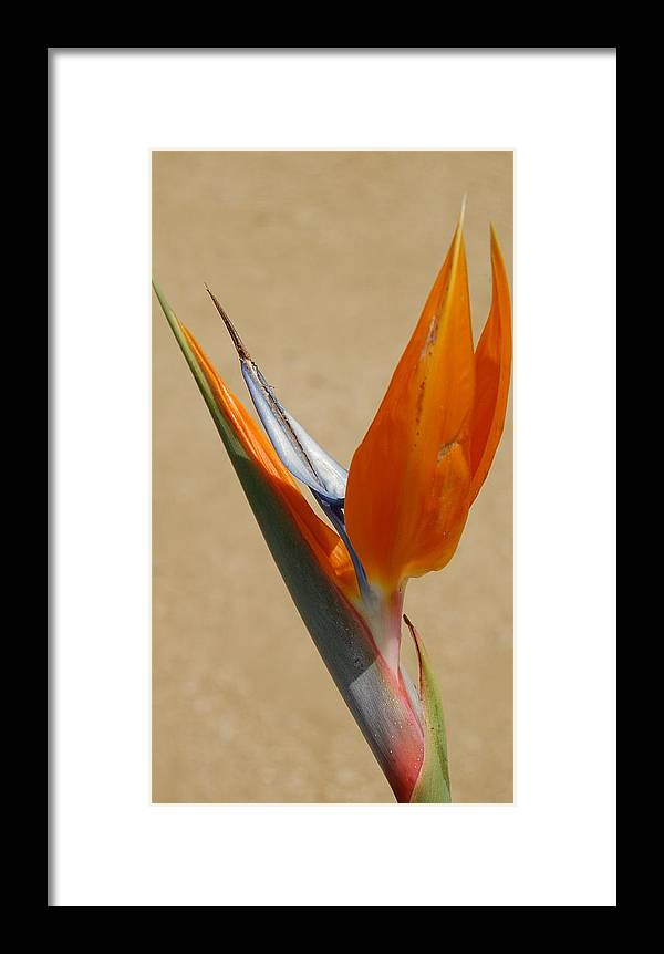 Flower Framed Print featuring the photograph Bird Of Paradise II by Jean Booth