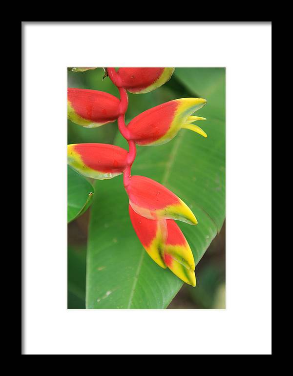 Bird Of Paradise Framed Print featuring the photograph Bird Of Paradise by Jessica Rose