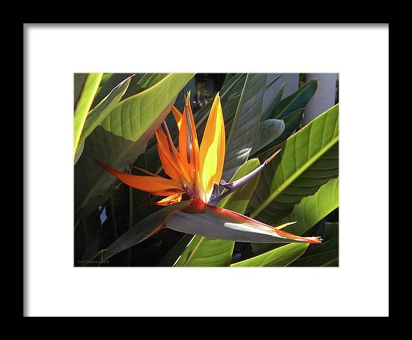 Floral Framed Print featuring the photograph Bird Of Paradise by Lisa Cassinari
