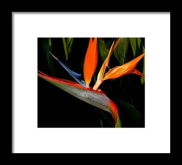 Flowers Framed Print featuring the photograph Bird Of Paradise by Rosalie Scanlon