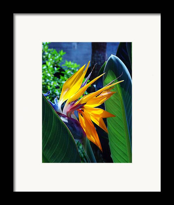 Flowers Framed Print featuring the photograph Bird Of Paradise by Susanne Van Hulst