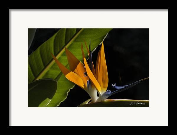 Flower Framed Print featuring the photograph Bird Of Paridise2 by Richard Gordon