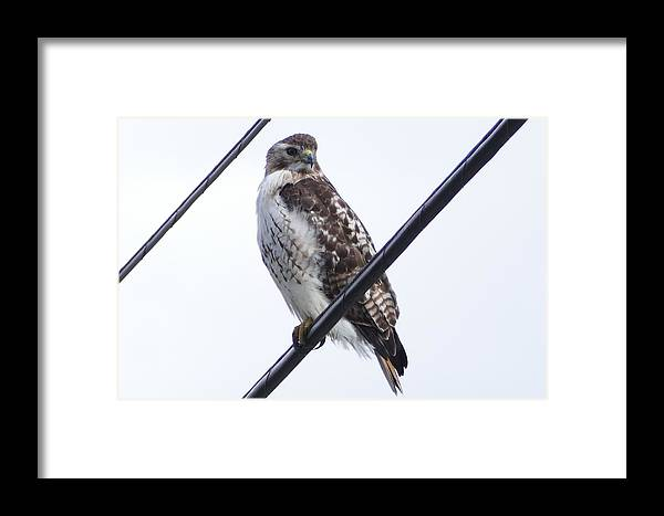 Hawk Framed Print featuring the photograph Bird On A Wire by Debbie Storie