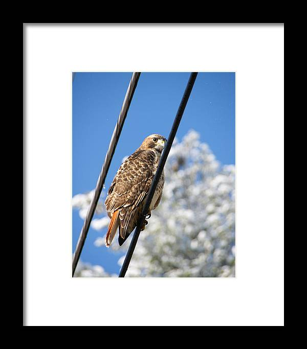 Hawk Framed Print featuring the photograph Bird On A Wire by Edward Myers