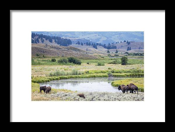Bison Framed Print featuring the photograph Bison At Slough Creek by Carolyn Fox