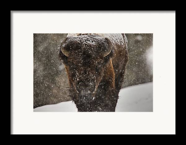 Wildlife Framed Print featuring the digital art Bison Buffalo Wyoming Yellowstone by Mark Duffy