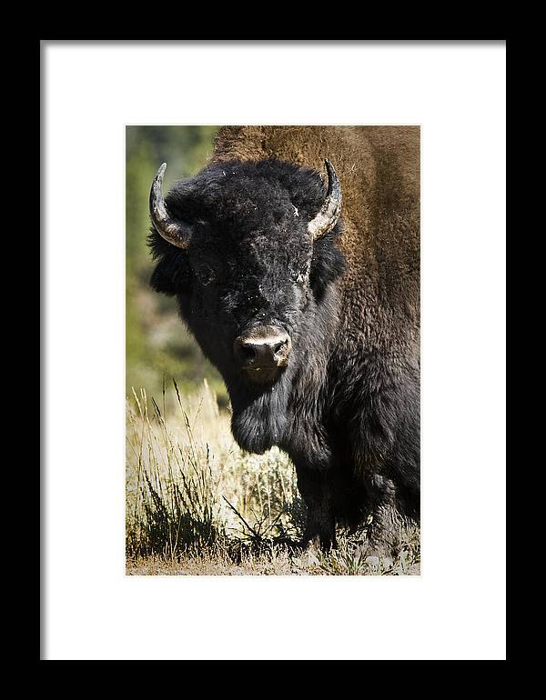 Bison Framed Print featuring the photograph Bison Bull by Chad Davis