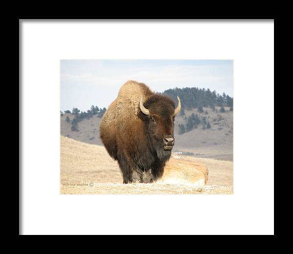Bison Framed Print featuring the photograph Bison Bull by Marion Muhm