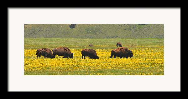 Bison Heard Framed Print featuring the photograph Bison Herd by Alan Lenk