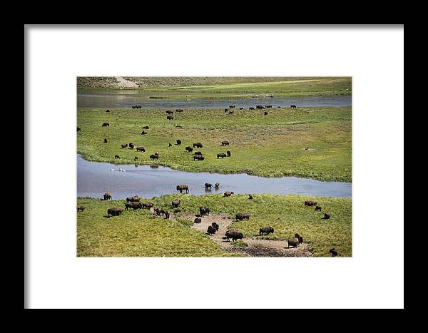 Bison Framed Print featuring the photograph Bison Herd And Yellowstone River by Steve Aserkoff