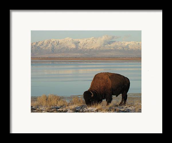 Horizontal Framed Print featuring the photograph Bison In Front Of Snowy Mountains by Mathew Levine
