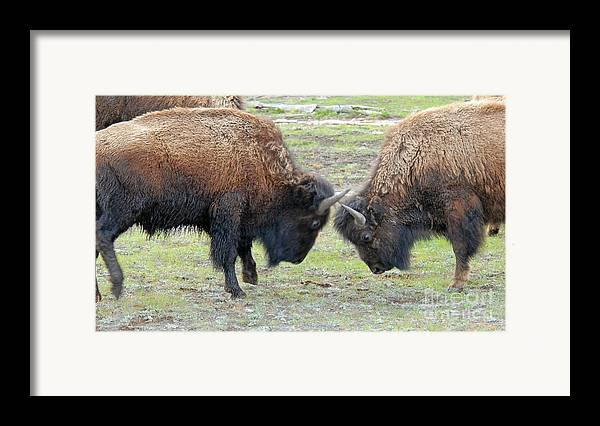 Bison Framed Print featuring the photograph Bison Standoff by Dennis Hammer
