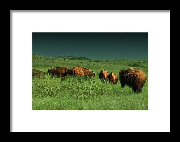 Bisons Framed Print featuring the photograph Bisons In The Prarie by Iris Greenwell