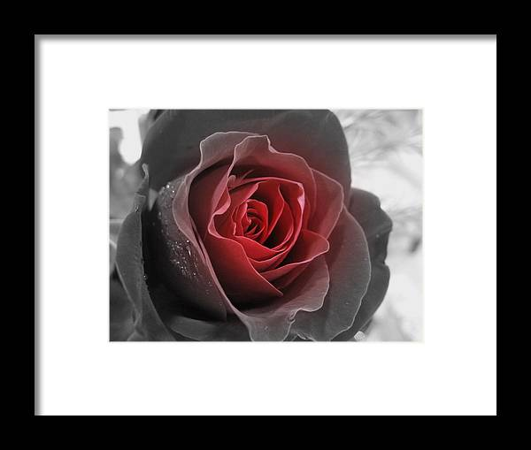 Floral Framed Print featuring the photograph Black And Red Rose by Kathy Roncarati