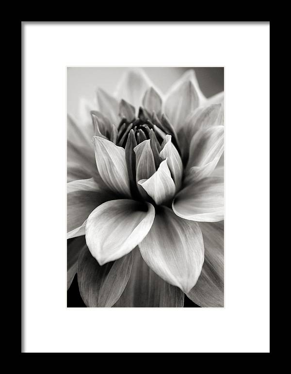 Bw Framed Print featuring the photograph Black And White Dahlia by Danielle Miller