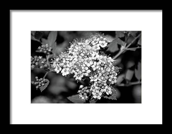 Flower Framed Print featuring the photograph Black And White Twinkle by Aimee L Maher ALM GALLERY