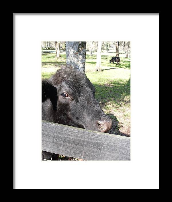 Black Angus Framed Print featuring the photograph Black Angus On The Side by Warren Thompson