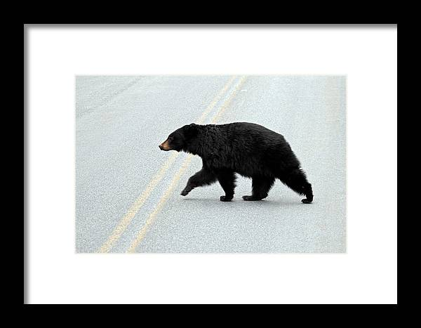 Black Bear Crossing The Road Framed Print by Pierre Leclerc Photography