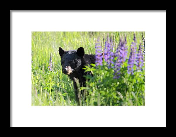 Black Framed Print featuring the photograph Black Bear Hiding Behind Lupines by Pierre Leclerc Photography
