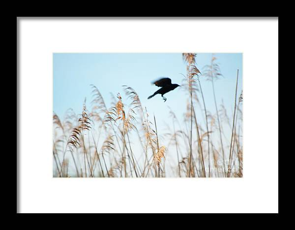 Black Framed Print featuring the photograph Black Bird In Cat Tails by Michelle Himes