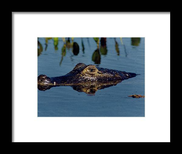 Caiman Framed Print featuring the photograph Black Caiman by Amarildo Correa