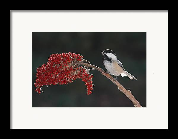 Birds Framed Print featuring the photograph Black-capped Chickadee by Raju Alagawadi