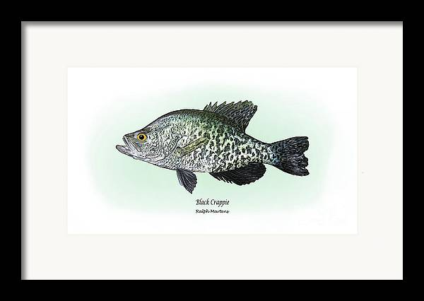 Crappie Framed Print featuring the drawing Black Crappie by Ralph Martens