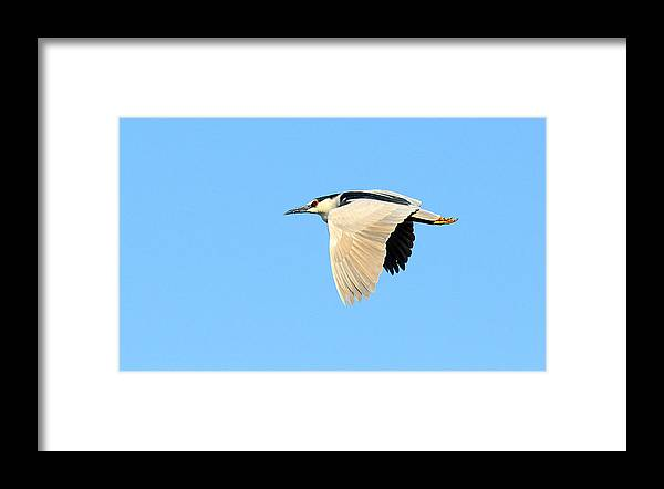 Bird Framed Print featuring the photograph Black Crown Night Heron by Dennis Hammer