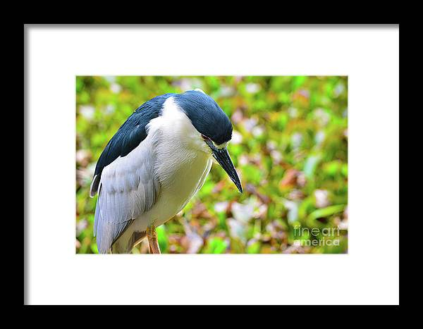 Bird Framed Print featuring the photograph Black-crowned Night Heron by Spade Photo