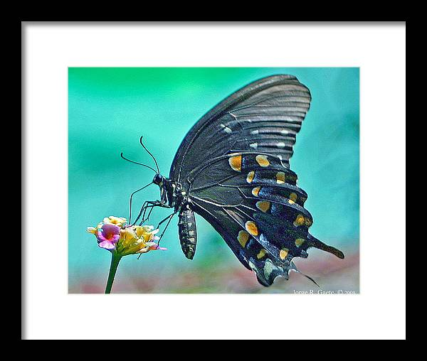 Butterfly Framed Print featuring the photograph Black Eastern Swallow Tail by Jorge Gaete