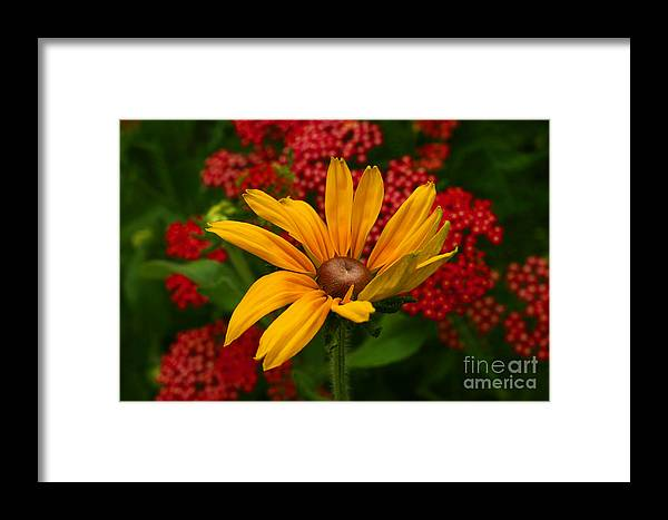 Blackeyed Susan Framed Print featuring the photograph Black-eyed Susan And Yarrow by Steve Augustin