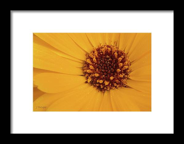 Black Eyed Susan Framed Print featuring the photograph Black Eyed Susan Just Being by Janet DeLapp