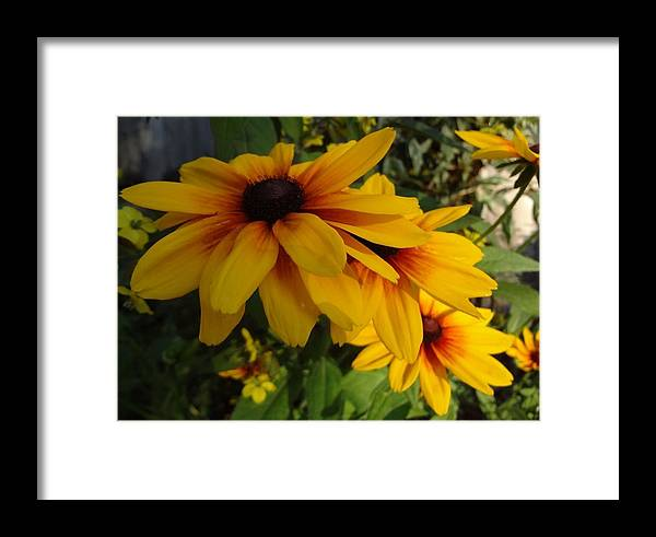 Flowering Garden Perennial Framed Print featuring the photograph Black-eyed Susan Symphony by Sarah Malley