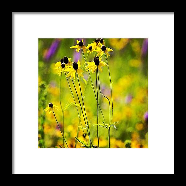 Flora Framed Print featuring the photograph Black-eyed Susans In The Horicon Marsh by Melissa Tenpas