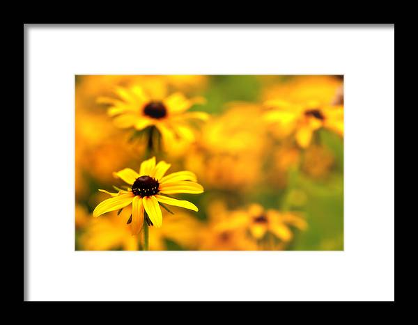 Black Eyed Susans Framed Print featuring the photograph Black Eyed Susans by Jim Dohms