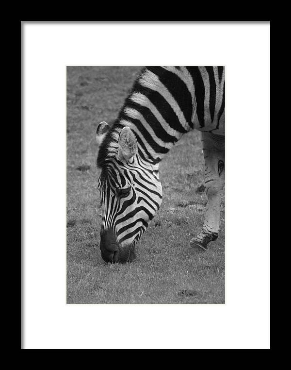Zebra Framed Print featuring the photograph Black N White Stripes by Sonja Anderson